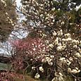谷保天神の梅
