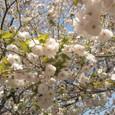 2011年八重桜
