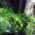 日原の鍾乳洞の苔