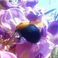 藤とクマバチ