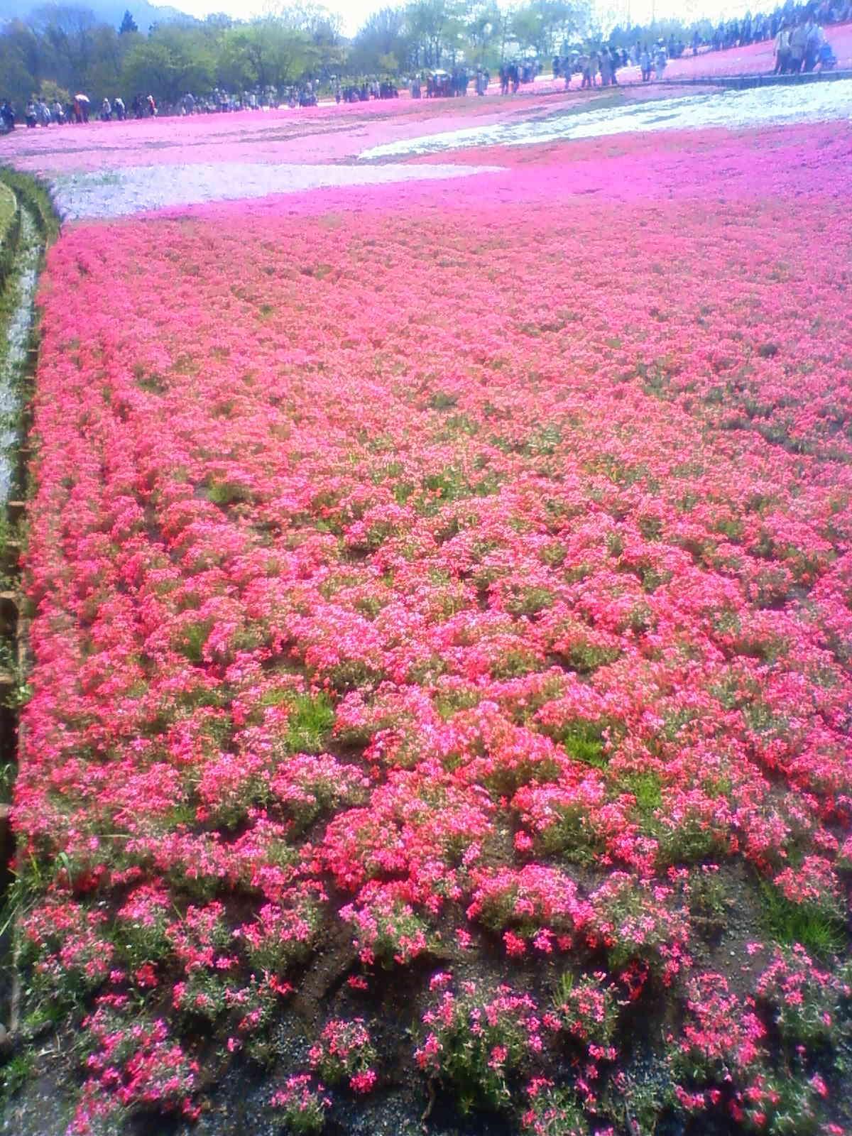 羊山公園芝桜Ⅲ