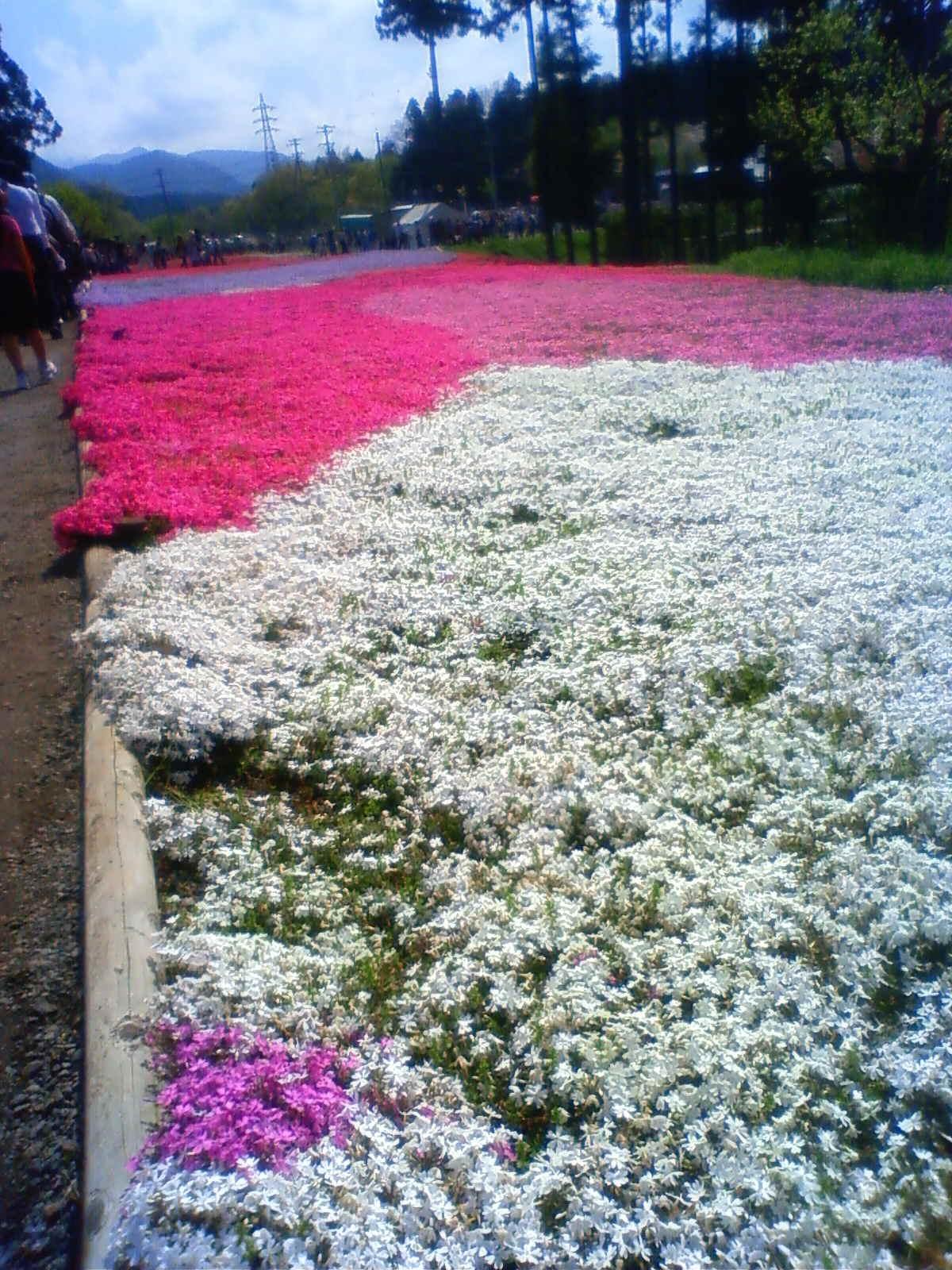羊山公園芝桜Ⅱ