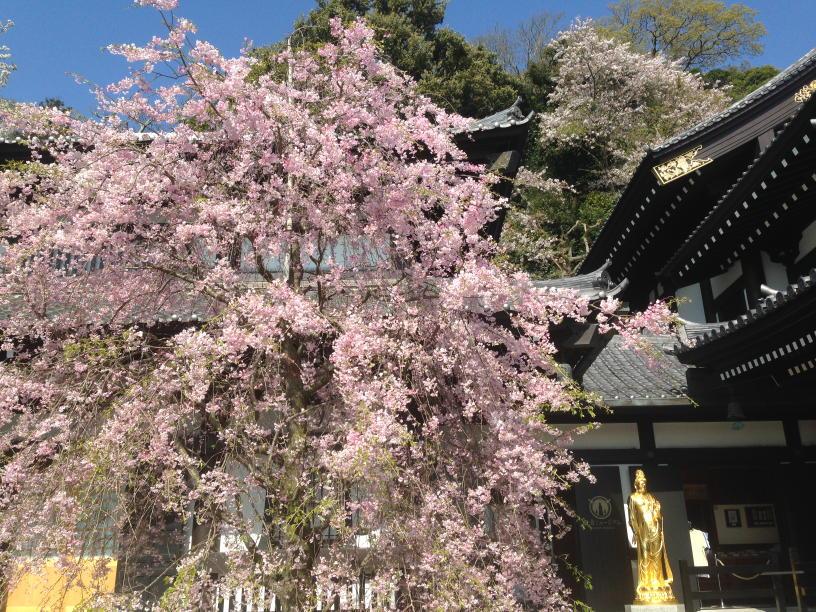 長谷の枝垂れ桜