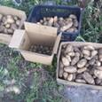 ジャガイモ収穫2011の2